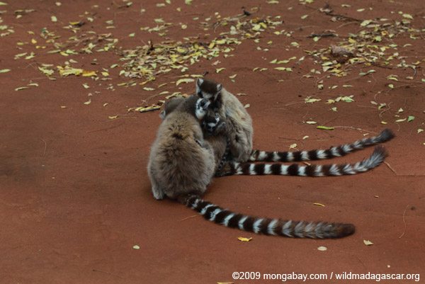 Ringtails grooming
