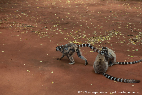 Mother ringtail lemur with baby