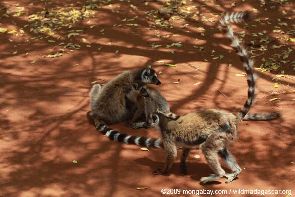Ringtail lemurs grooming