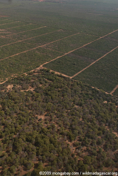 Aerial view of gallery forest and a sisal plantation in Berenty