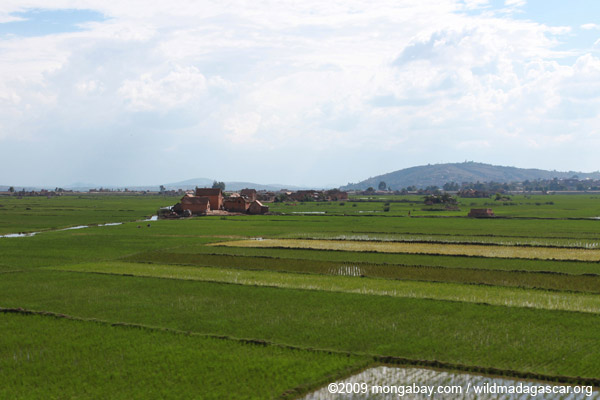 Tana rice fields