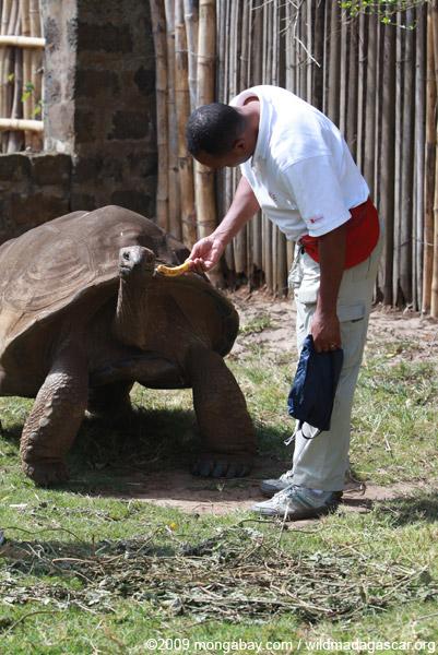 Ancient Aldabra Giant Tortoise (Geochelone gigantea)