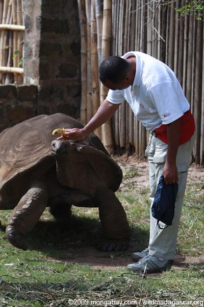 Aldabra Giant Tortoise (Geochelone gigantea)