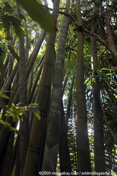 Giant bamboo