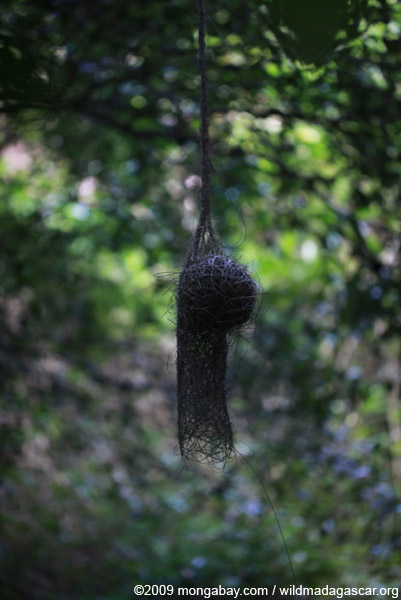Hanging weaver nest