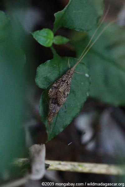 Mating caddisflies (Trichoptera)