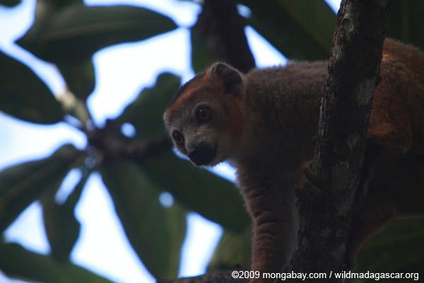 Male Crowned lemur (Eulemur coronatus)