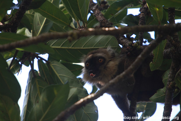 Sanford's Brown Lemur (Eulemur sanfordi) licking its lips