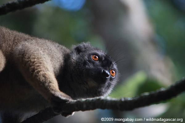 Collared Brown Lemur (Eulemur collaris) outside it range