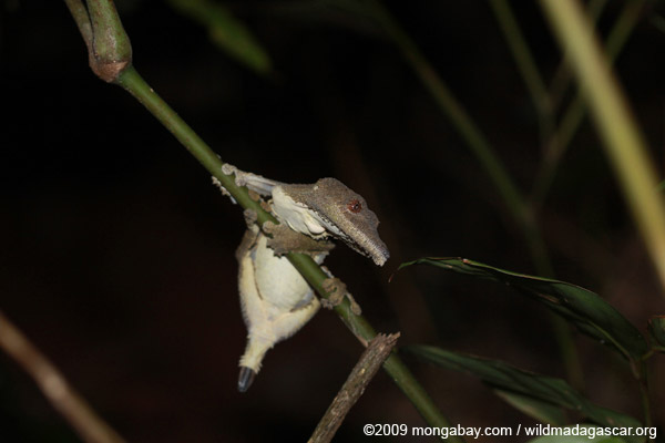 Mossy Leaftail Gecko (Uroplatus sikorae) with a damaged tail