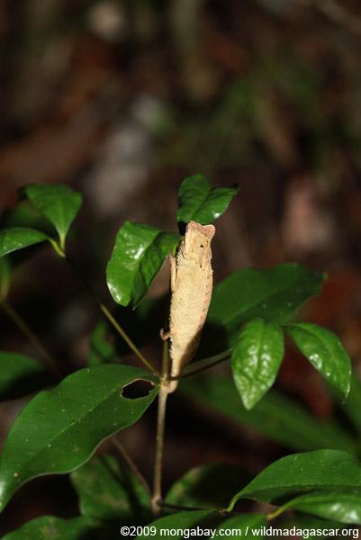 Plated Leaf Chameleon (Brookesia stumpffi)