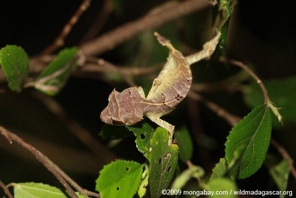 Spear-tail Leaftail Gecko (Uroplatus ebenaui)