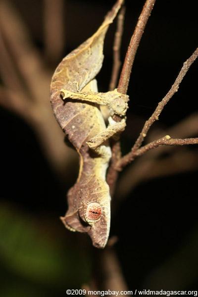 Spear-tail Leaf-tail Gecko (Uroplatus ebenaui)