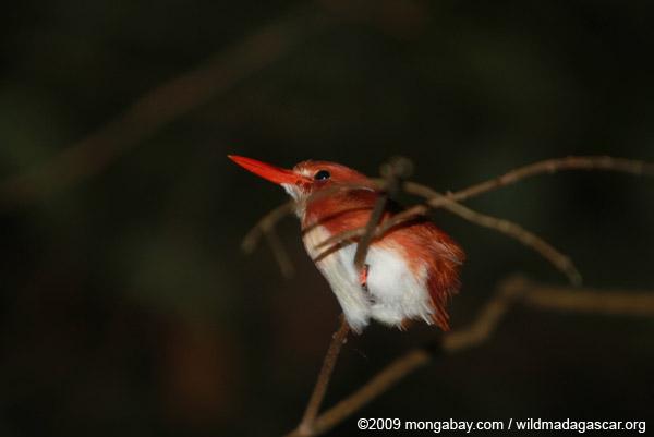 Madagascar Pygmy-kingfisher (Ceyx madagascariensis)