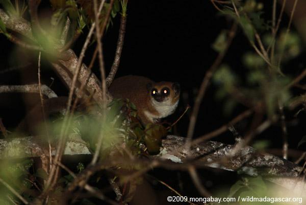 Lesser Dwarf Lemur (Cheirogaleus medius)