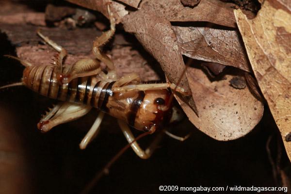 Cricket (Stenopelmatus?)