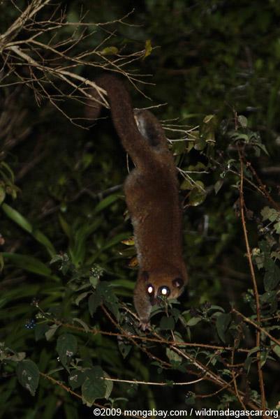 Fat-tailed Dwarf Lemur (Cheirogaleus medius)