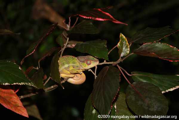 Panther chameleon (Furcifer pardalis) sleeping