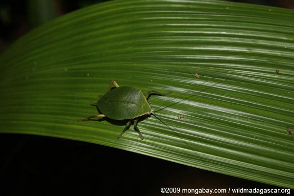 Leaf-mimicking treehopper