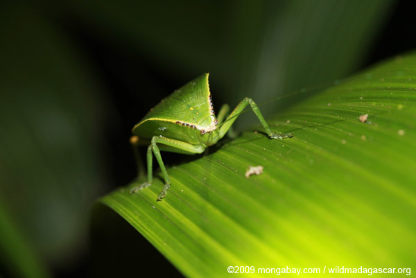 Leaf-mimicking treehopper