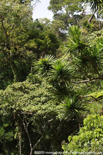 Pandanus in the rainforest