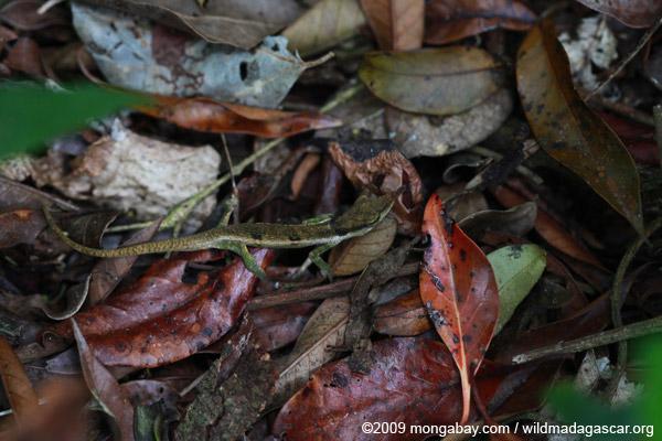 Blue-nosed Chameleon (Calumma boettgeri) in leaf litter