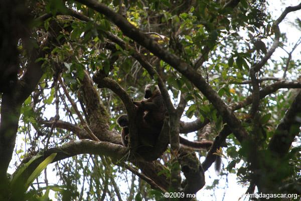 Sanford's Brown Lemurs (Eulemur sanfordi)