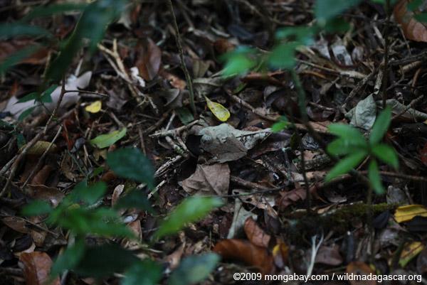 Mantidactylus asper?