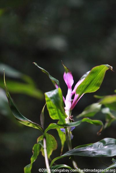 Commelinaceae Plant