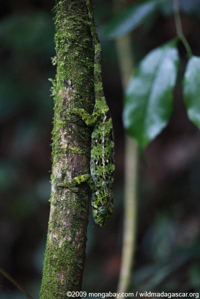 Amber Mountain chameleon (Calumma ambreense)