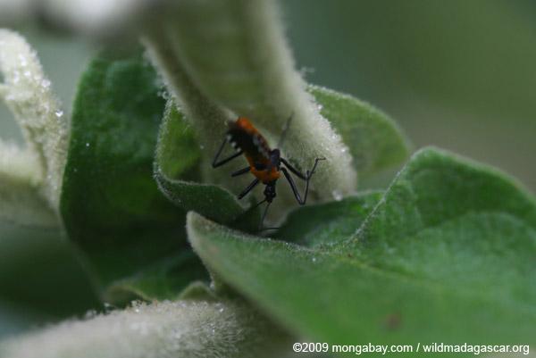 Orange and black bug