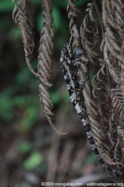 Camouflaged Amber Mountain chameleon (Calumma ambreense)