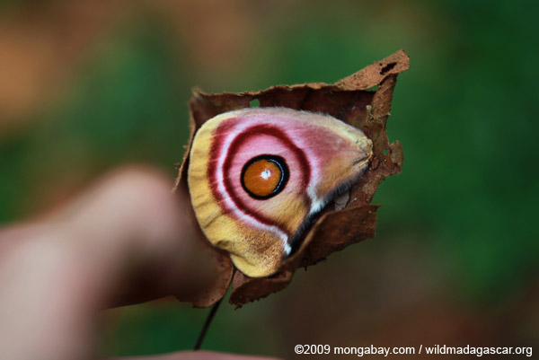 Antherina suraka, Saturniidae family - wing with orange eye-spot