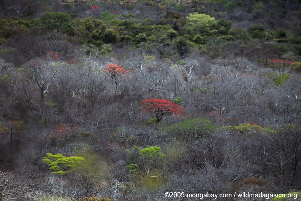Flowering trees in Ankarana