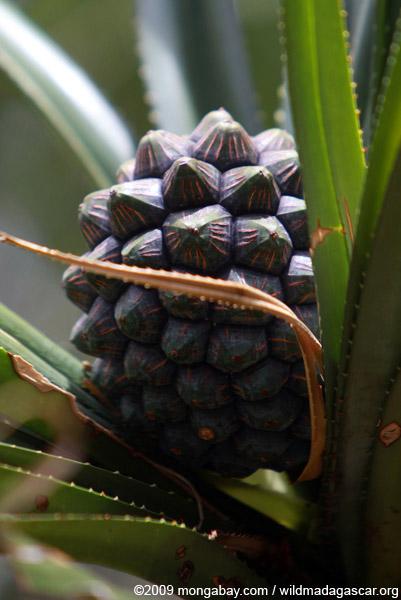Madagascar Screw Pine (Pandanus utilis) fruit
