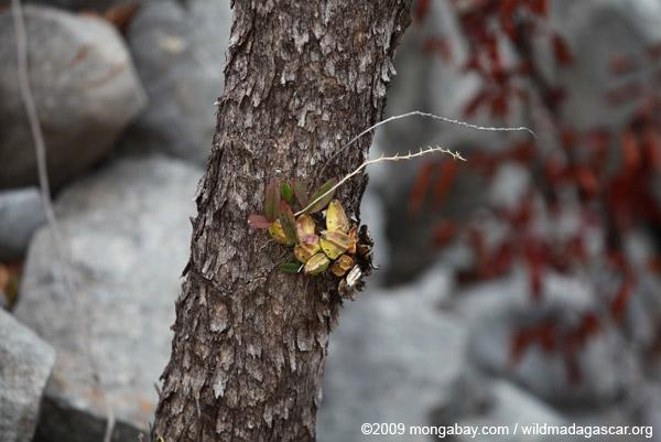 Orchid in Ankarana (Bulbophyllum sp.)