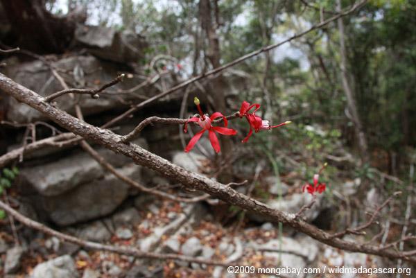 Red flowers (Passifloraceae?)
