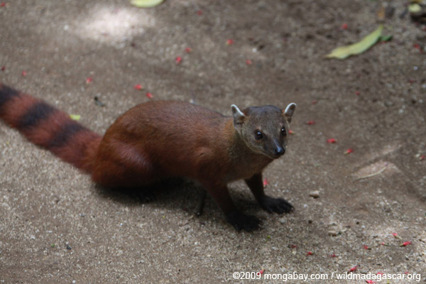 Ring-tailed mongoose (Galidia elegans)