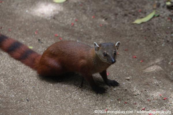 Ring-tailed mongoose (Galidia elegans)