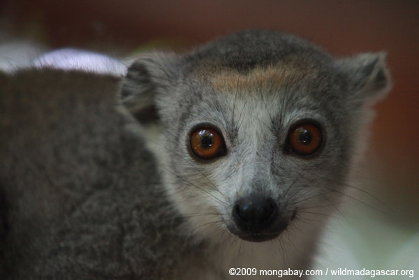 Female Crowned lemur (Eulemur coronatus)