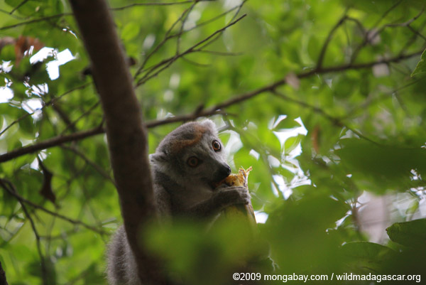 Female Crowned lemur (Eulemur coronatus) feeding