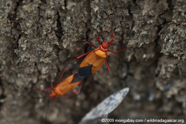 Mating orange, red, and black bugs