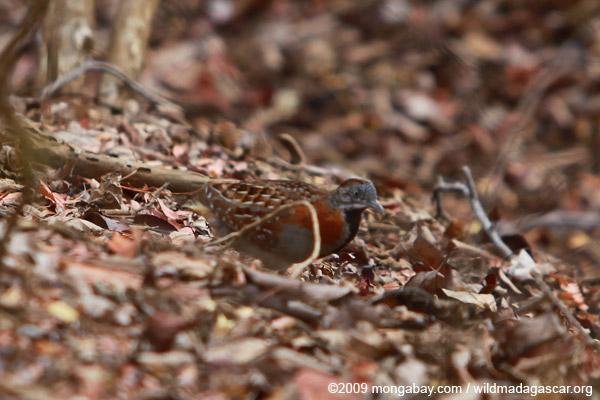Madagascar Buttonquail (Turnix nigricollis)