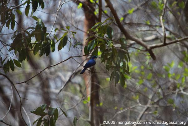 Blue vanga [male]