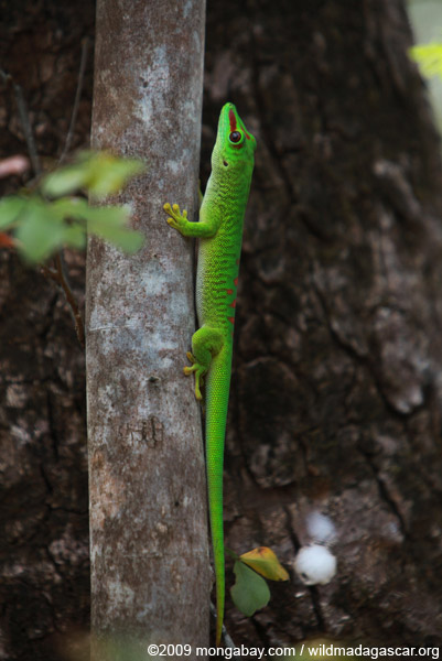 Giant day gecko (Phelsuma madagascariensis)