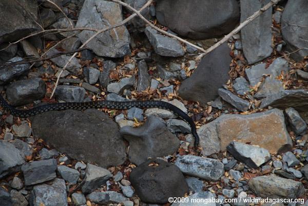 Malagasy giant hognose snake (Leioheterodon madagascariensis) at the bottom of a sink hole