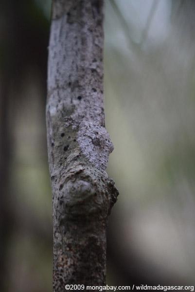 Frilled Leaf-tail Gecko (Uroplatus henkeli)