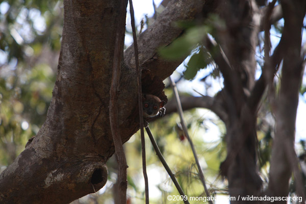 Northern Sportive Lemur (Lepilemur septentrionalis) peering out of a tree hollow