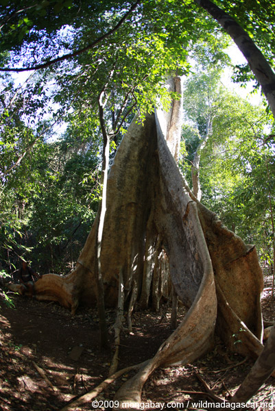 Giant buttress roots of a strangler fig in Ankarana