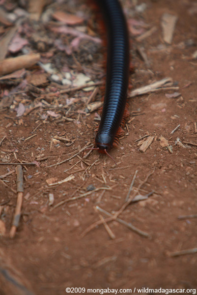 Red millipede with red legs